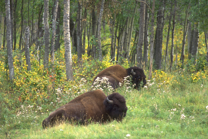 a field trip to the elk island park Elk island national park really is a gorgeous, special place - more edmontonians should make a point to visit and support its role in habitat conservation elk island is a small canadian national park a short drive east of edmonton off the yellowhead highway (#16.